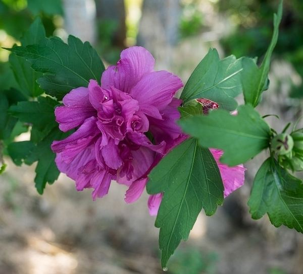 Hibiscus syriacus HibiscussyriacusFDRichardsCCBYSAjpg