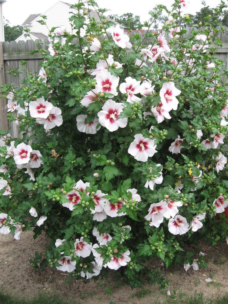 Hibiscus syriacus Bali Rose of Sharon Wilson Nurseries