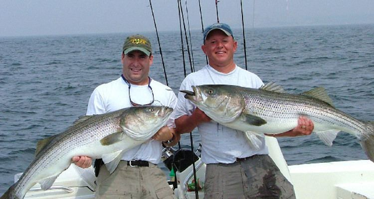 Hickory shad Hickory Shad for Trophy Stripers On The Water