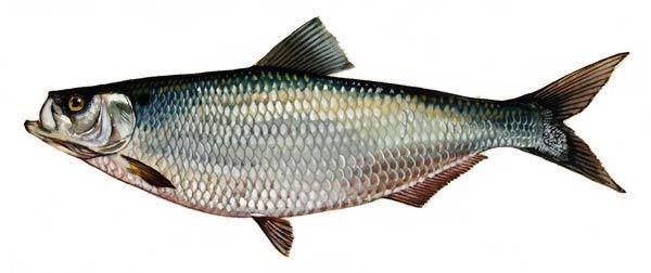 Hickory shad SCDNR Fish Species Hickory shad
