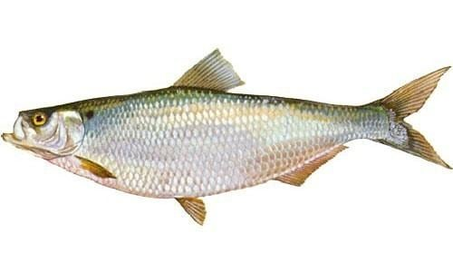 Hickory shad Hickory Shad Chesapeake Bay Program