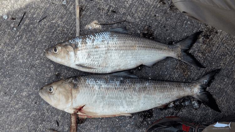Hickory shad Shad Identification Fishes of North Carolina