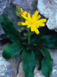 Hieracium lucidum httpsuploadwikimediaorgwikipediacommonsaa