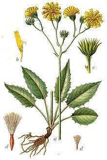 Hieracium sylvaticum httpsuploadwikimediaorgwikipediacommonsthu
