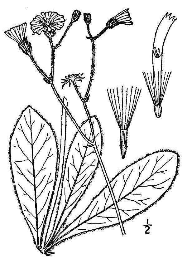 Hieracium traillii