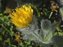 Hieracium villosum httpsuploadwikimediaorgwikipediacommonsthu