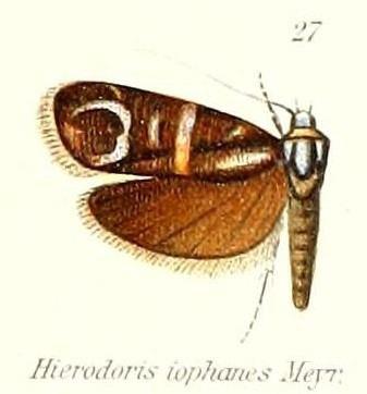 Hierodoris iophanes
