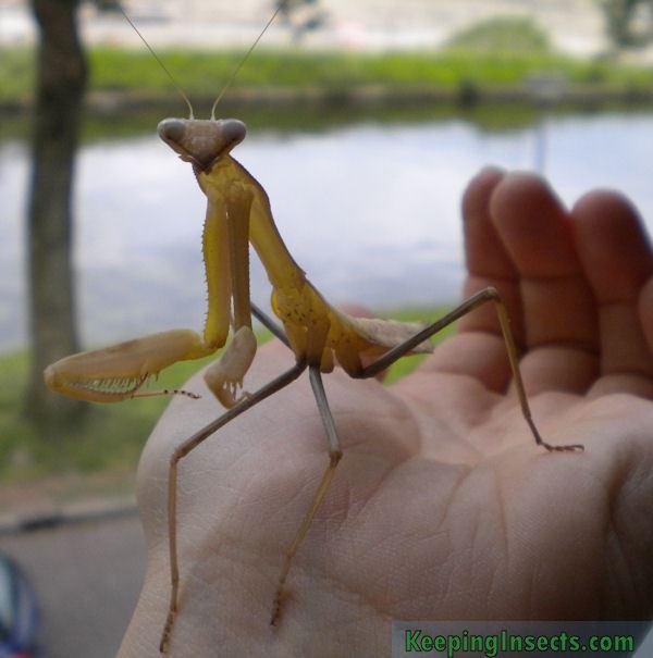 Hierodula membranacea Giant Asian Mantis Hierodula membranacea Keeping Insects