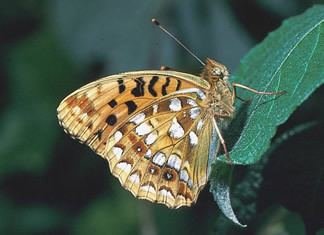 High brown fritillary Species factsheet