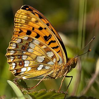 High brown fritillary Butterfly Conservation Warwickshire Saving Butterflies Moths