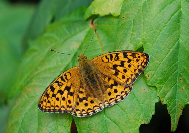 High brown fritillary butterflyconservationorgfileshighbrownfritil