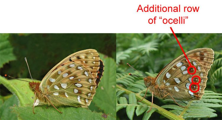 High brown fritillary UK Butterflies High Brown Fritillary Argynnis adippe