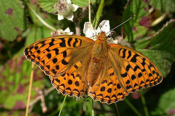 High brown fritillary British Butterflies A Photographic Guide by Steven Cheshire
