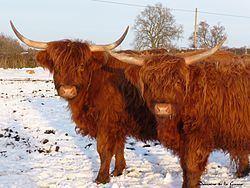 Highland cattle Highland cattle Wikipedia