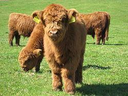 Highland cattle httpsuploadwikimediaorgwikipediacommonsthu