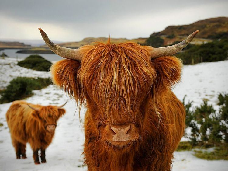 Highland cattle 1000 ideas about Highland Cattle on Pinterest Baby cows Cow and