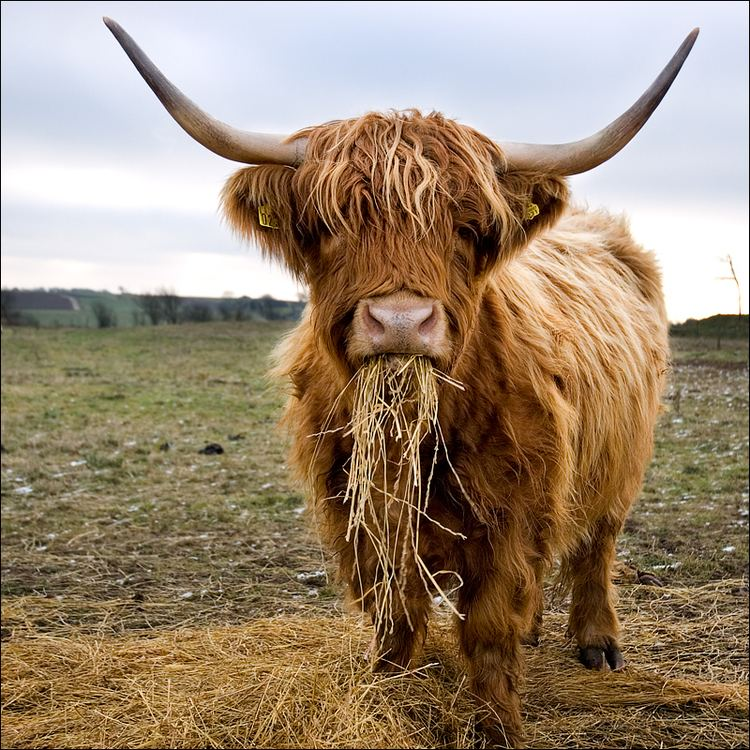 Highland cattle 1000 images about Scottish Highland Cattle on Pinterest Beautiful