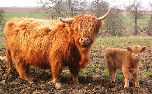Highland cattle Highland cattle Natural History