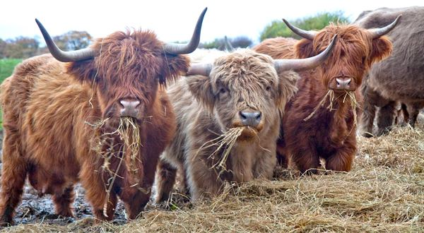 Highland cattle 1000 images about Highland cattle on Pinterest Renting