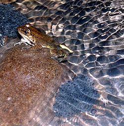 Highland frog httpsuploadwikimediaorgwikipediacommonsthu