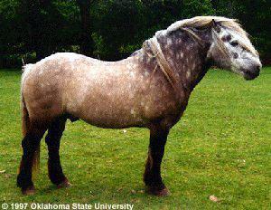 Highland pony Breeds of Livestock Highland Pony Breeds of Livestock