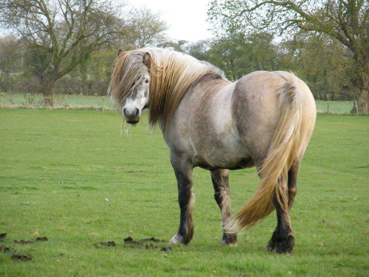 Highland pony 1000 images about Highland Pony on Pinterest Old photos Horses