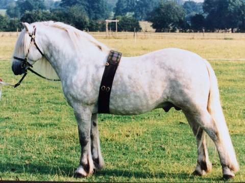 Highland pony Highland Pony Society Breed Description