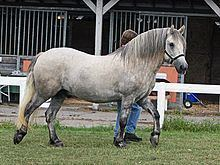 Highland pony httpsuploadwikimediaorgwikipediacommonsthu