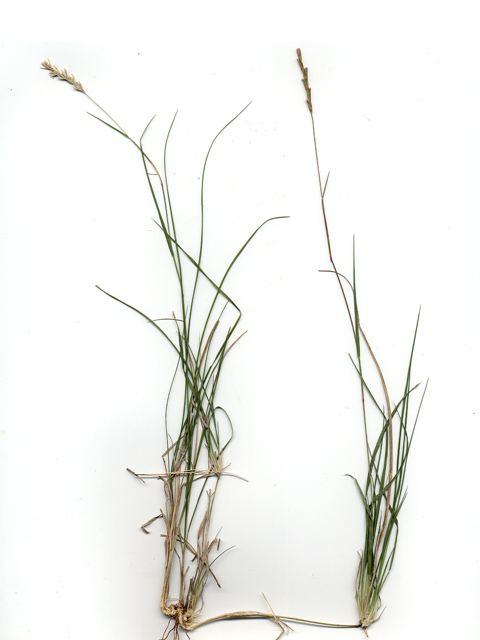 Hilaria belangeri Hilaria belangeri Curly mesquite grass NPIN