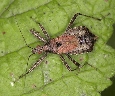 Himacerus apterus httpswwwbritishbugsorgukheteropteraNabidae