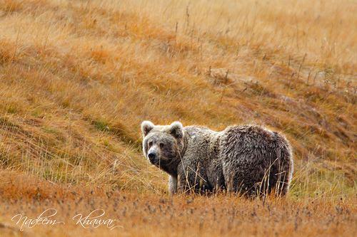 Himalayan brown bear Himalayan Brown Bear The Himalayan Brown Bear Ursus arct Flickr