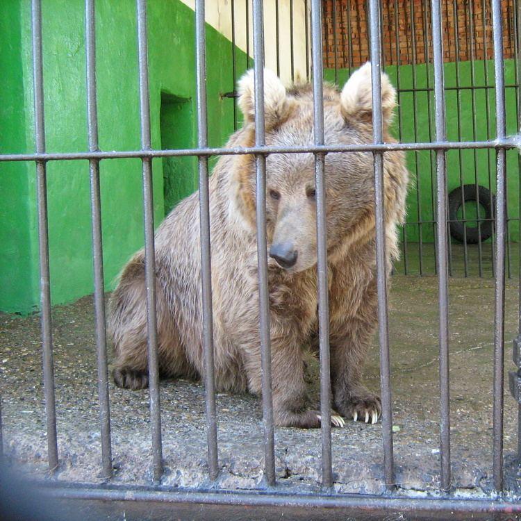Himalayan brown bear Himalayan Brown Bear Ursus arctos isabellinus Redorbit