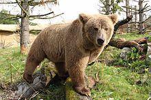 Himalayan brown bear httpsuploadwikimediaorgwikipediacommonsthu