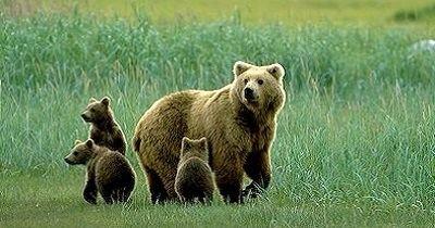 Himalayan brown bear Rare Species Himalayan Brown Bear