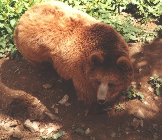 Himalayan brown bear Himalayan brown bear Redorbit