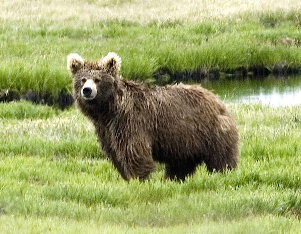 Himalayan brown bear A sketch of the yeti saving the Himalayan brown bear
