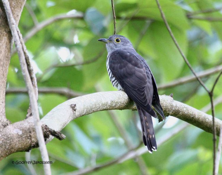 Himalayan cuckoo httpsc1staticflickrcom4328629381458044629