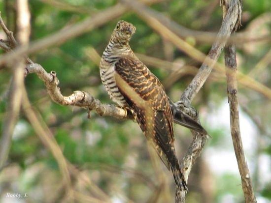 Himalayan cuckoo Himalayan Cuckoo BirdForum Opus