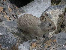 Himalayan pika httpsuploadwikimediaorgwikipediacommonsthu