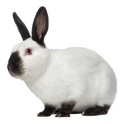 Himalayan rabbit Is a Himalayan Rabbit the Right Pet Rabbit Breed f