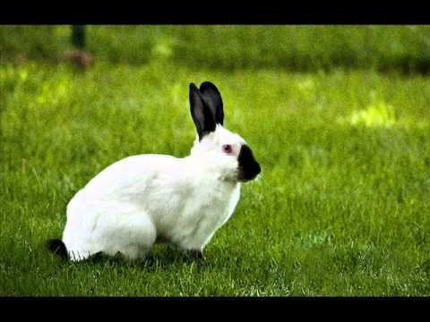 Himalayan rabbit Himalayan Rabbits YouTube