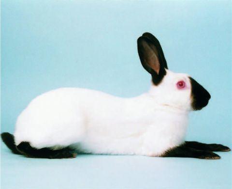 Himalayan rabbit BRC Himalayan rabbit
