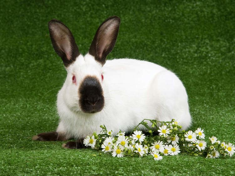 Himalayan rabbit Himalayan For Sale Rabbits Breed Information Omlet