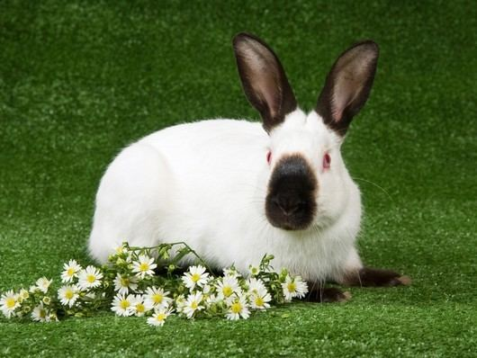 Himalayan rabbit rabbitbreedersuswpcontentuploadsHimalayanRab