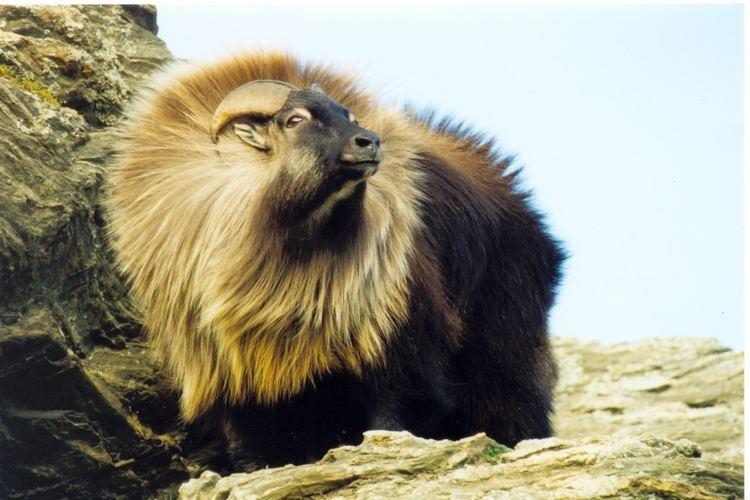 Himalayan tahr Himalayan Tahr Hemitragus jemlahicus Animals Goat antelopes