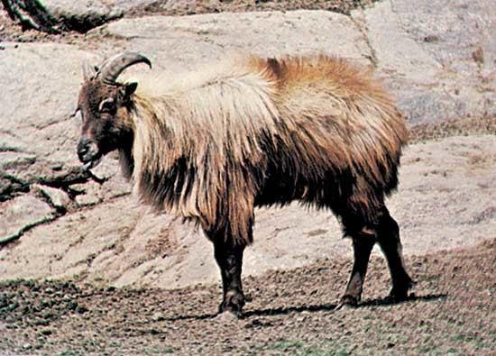 Himalayan tahr Himalayan tahr mammal Britannicacom