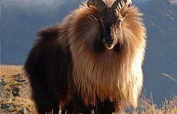 Himalayan tahr Himalayan tahr Wikipedia