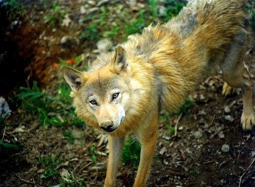 Himalayan wolf White Wolf The Himalayan Wolf Will it be here today but gone