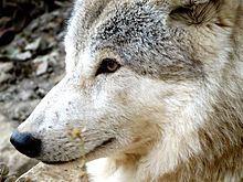 Himalayan wolf httpsuploadwikimediaorgwikipediacommonsthu