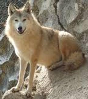 Himalayan wolf Himalayan wolf on emaze